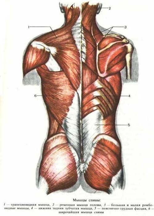 Строение мышц спины человека